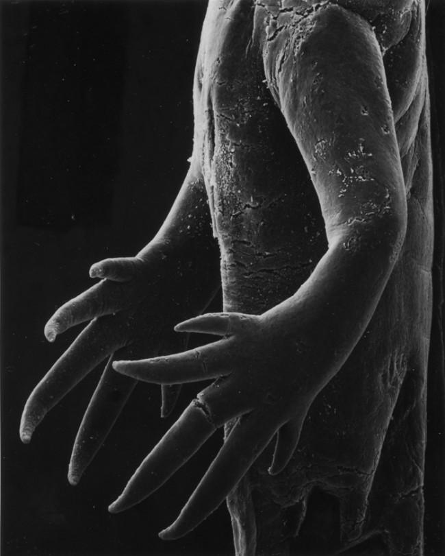 Claudia Fährenkemper   Hände einer Molchlarve (aus der Serie Metamorphosis) 2002, Silbergelatinepapier © Claudia Fährenkemper