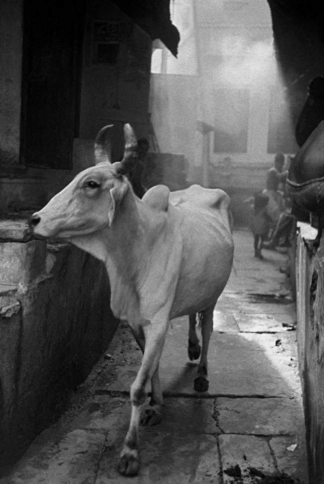 Cow in the Bazaar, 1953, New Dehli
