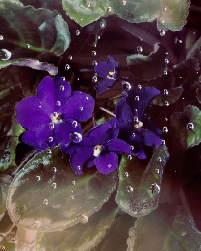 African Violets | Brea Souders