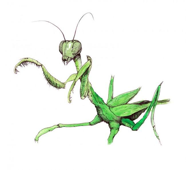 Animals - Mantis
