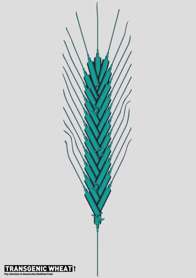 Transgenetic Wheat