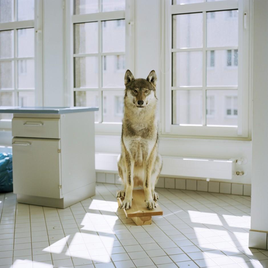 Junger Wolf- aus der Serie Tierpräparate imMuseum fürNaturkundeChemnitz