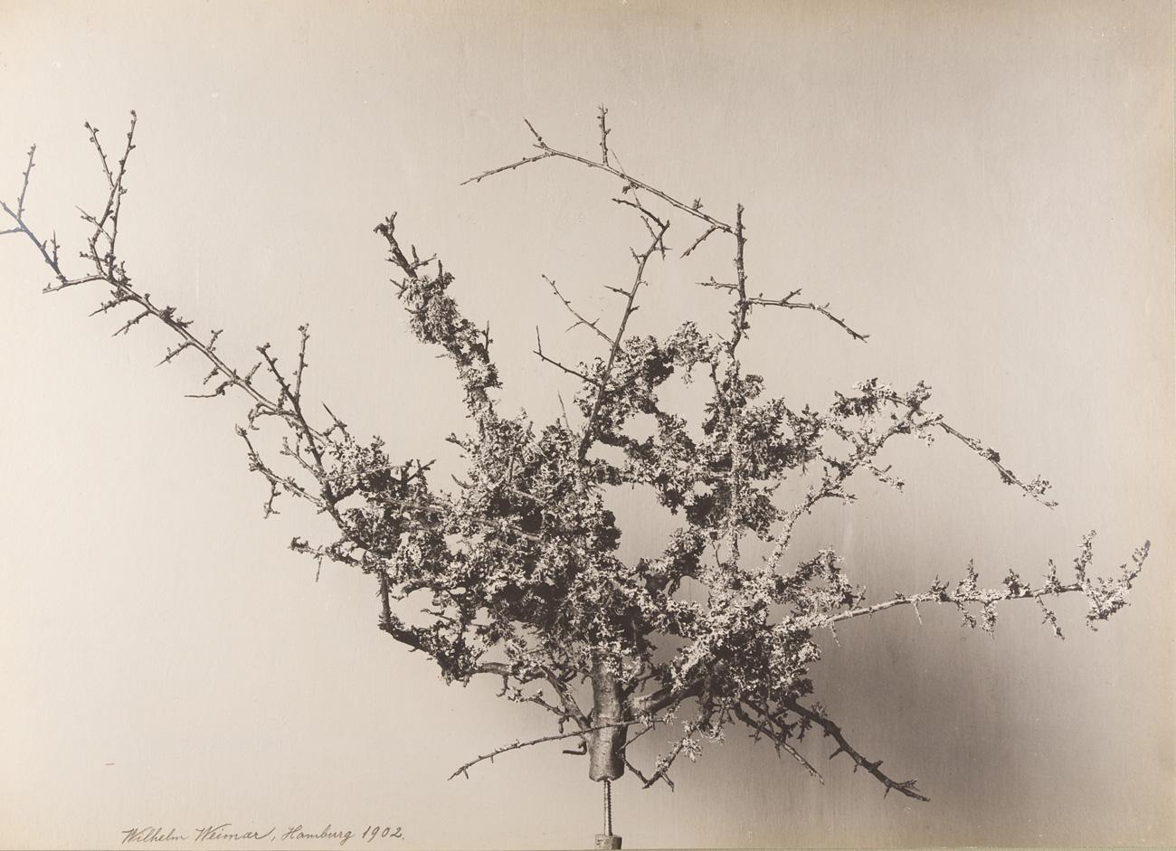 Schleedorn mit Flechten bewachsen, Hamburg, 1902 Silbergelatine-Abzug, 35,3 x 48,4 cm