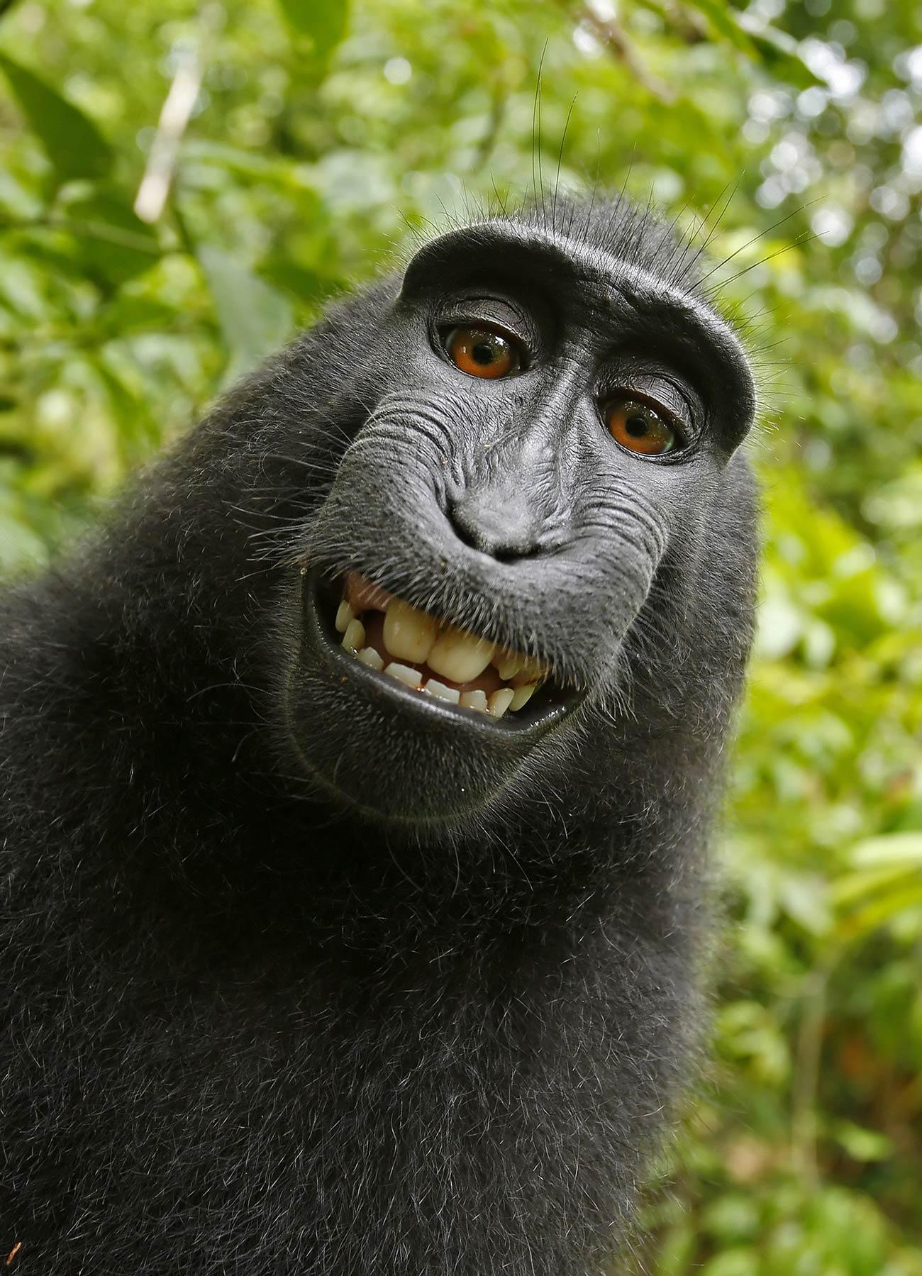 David Slater: Crested Black Macaque