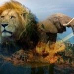 Lion_Elephant-without-logo-600x338