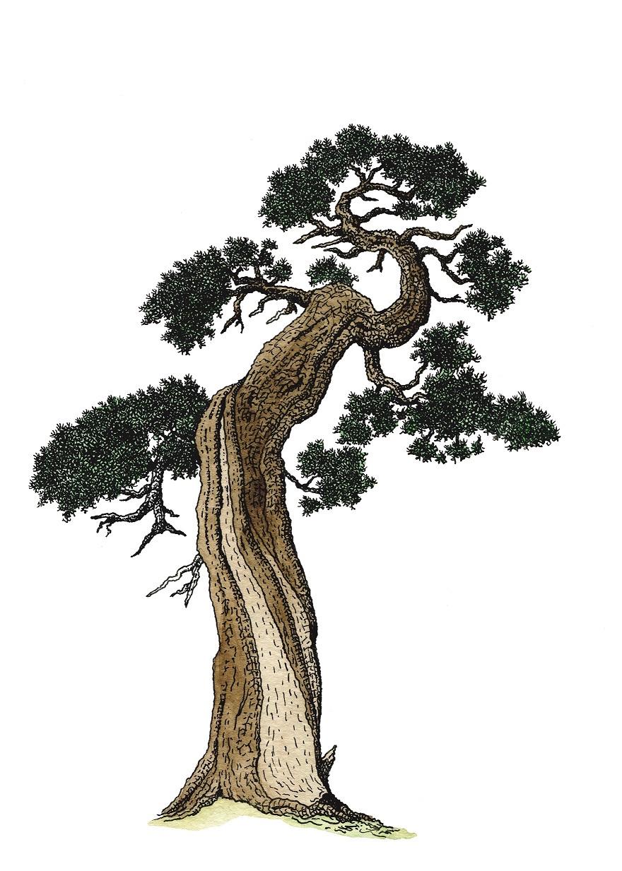 Ein Wacholderbaum illustriert